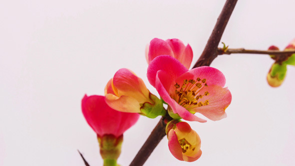 Japanese Crabapple Blossoming 2