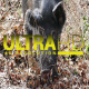 Wild Pig 1 - VideoHive Item for Sale