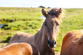 Horses in a green field of Iceland - PhotoDune Item for Sale