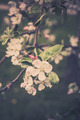 Blooming apple tree branches - PhotoDune Item for Sale