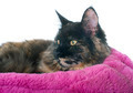 maine coon cat - PhotoDune Item for Sale