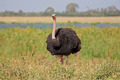 Male ostrich - PhotoDune Item for Sale