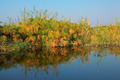 Papyrus on Kwando river - PhotoDune Item for Sale