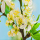 Wild Plum Flower Blossoming 2 - VideoHive Item for Sale