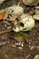 The animal skull in the forest. - PhotoDune Item for Sale