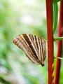 The Common Palmking Butterfly. - PhotoDune Item for Sale