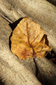 Dry leaves of the Bodhi tree - PhotoDune Item for Sale