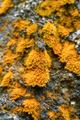 Tree bark with yellow foliose lichen - PhotoDune Item for Sale