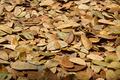 Dry leaves of Samanea saman trees. - PhotoDune Item for Sale