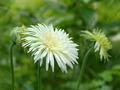 white gerbera daisy in the garden - PhotoDune Item for Sale