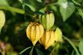Physalis fruit on tree - PhotoDune Item for Sale