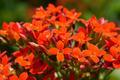 Kalanchoe blossfeldiana Poellnitz flower - PhotoDune Item for Sale