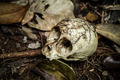 The animal skull in the woods. - PhotoDune Item for Sale
