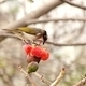 Chinese Bulbul Bird Drinks from Flower - PhotoDune Item for Sale