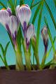 iris flower - PhotoDune Item for Sale