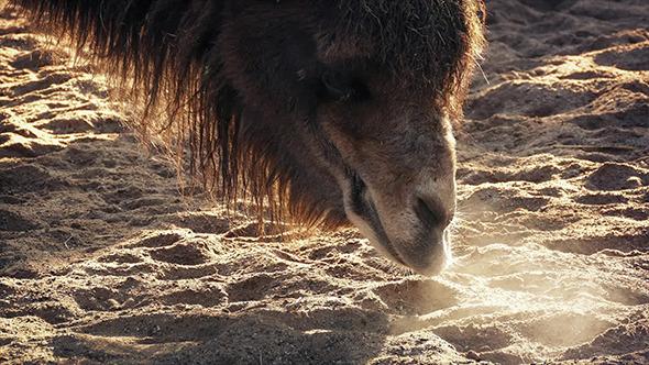 VideoHive Camel Sniffs Around Desert Floor In Morning 10788175