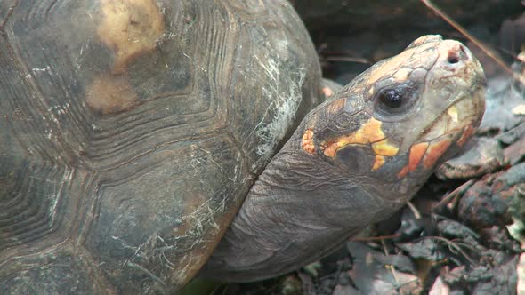 VideoHive Red-Footed Tortoise 1 Of 2 10792676