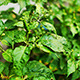 Green Chili Garden Plant - VideoHive Item for Sale