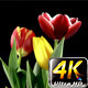 Tulips on Black Background 4 - VideoHive Item for Sale