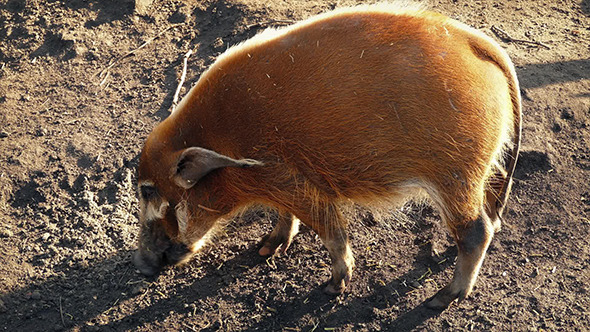 VideoHive Wild Pig Sniffing Out Food 10795471