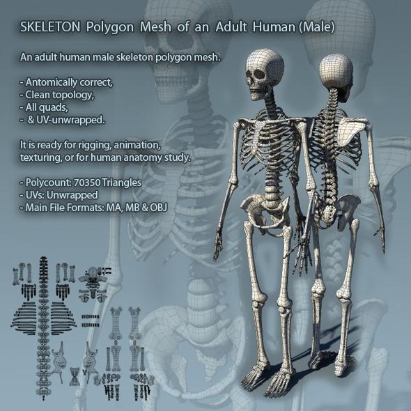 Skeleton Polygon Mesh of Adult Male Human - 3DOcean Item for Sale