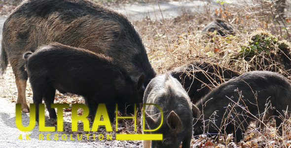 Wild Pigs with his Mother 2
