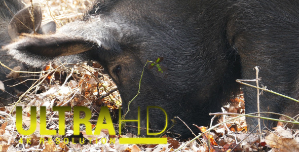 Wild Pigs with his Mother 6