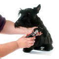 scottish terrier - PhotoDune Item for Sale
