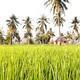 Rice - PhotoDune Item for Sale