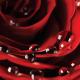 Rose - GraphicRiver Item for Sale