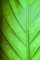 Cannabis leaf - PhotoDune Item for Sale