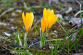 Yellow crocuses on spring  meadow close up - PhotoDune Item for Sale