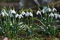Beautiful spring flowers snowdrops, Galanthus nivalis - PhotoDune Item for Sale