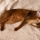 Abyssinian Cat - VideoHive Item for Sale