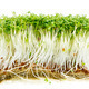 Isolated Garden Cress Sprouts - PhotoDune Item for Sale