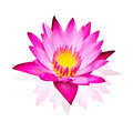 Pink water lily isolated  on white background with working path - PhotoDune Item for Sale