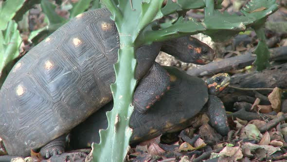 VideoHive Red-Footed Tortoises Mating 10846023