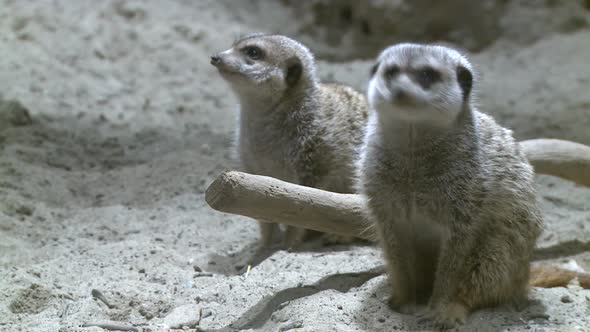 VideoHive Curious Meerkats 3 Of 21 10846662