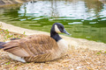 goose sitting and resting near a small lake - PhotoDune Item for Sale