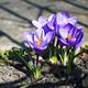 Purple crocuses in spring garden - PhotoDune Item for Sale