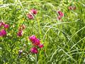 Flowering tuberous pea among meadow grasses - PhotoDune Item for Sale