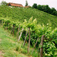Grapevines in Styria - PhotoDune Item for Sale