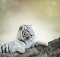 White Tiger - PhotoDune Item for Sale