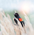 Red Winged Blackbird - PhotoDune Item for Sale