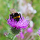 Bumble-Bee On Thistle Flower - VideoHive Item for Sale