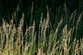 Silver grasses - PhotoDune Item for Sale