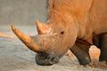 White rhinoceros - PhotoDune Item for Sale