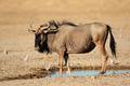Blue wildebeest at waterhole - PhotoDune Item for Sale