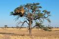 Acacia tree and weaver nest - PhotoDune Item for Sale