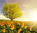 Sunflower field with tree - PhotoDune Item for Sale